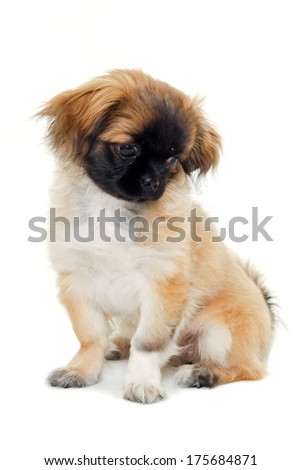 A sweet puppy dog is sitting and resting on a white background - stock photo