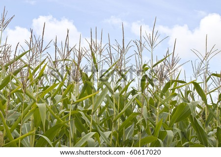 a sweetcorn field with blue sky - stock photo
