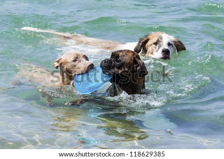 a swimming dogs with plate - stock photo