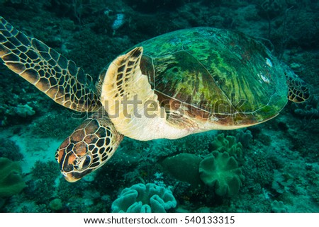 A swimming green turtle