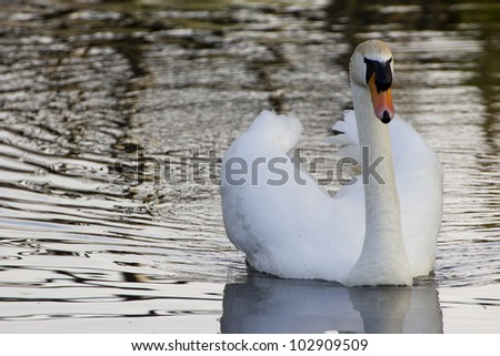 A swimming swan at dawn - stock photo