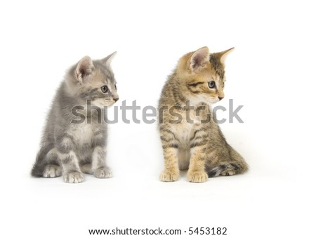 A tabby and a gray kitten look to the right on a white background - stock photo