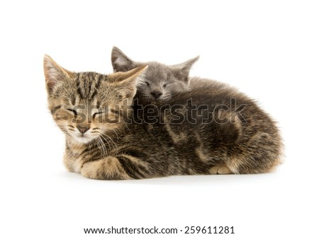 A tabby and gray kitten on white background - stock photo