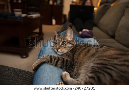 A tabby cat lies snuggled in the lap of an adult wearing blue jeans
