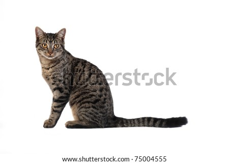 A tabby cat sitting on white
