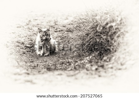 A tabby cat sitting with a young dead rabbit on its mouth. Black and white fine art outdoors portrait of domestic cat. - stock photo