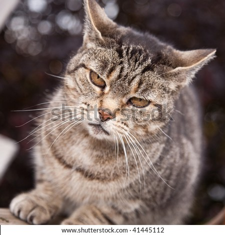 A tabby cat staring at the camera with piercing eyes. - stock photo