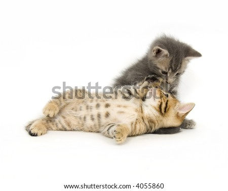 A tabby kitten lays next to a gray kitten and gray kitten and play on a white background - stock photo