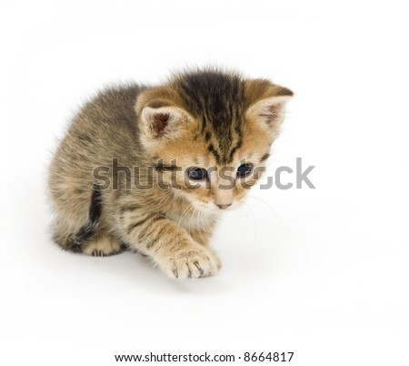 A tabby kitten lunges for a toy on white background