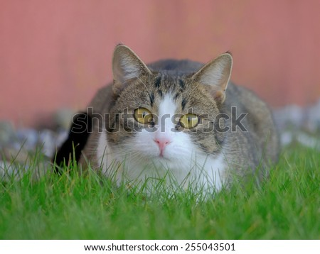 A tabby/white cat sitting in the grass.  - stock photo