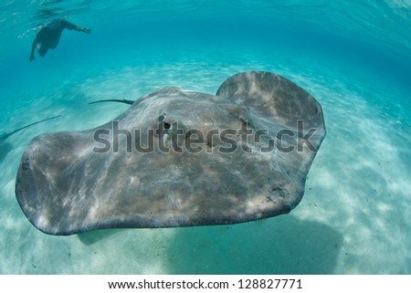 A Tahitian stingray (Himantura fai) swims in shallow water in a beautiful lagoon off Bora Bora in French Polynesia.  Sharks and rays are quite common in this region of the South Pacific Ocean. - stock photo