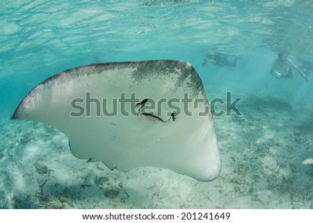 A Tahitian stingray swims in Bora Bora's shallow lagoon where snorkelers swim. This part of French Polynesia is one of the most beautiful tropical destinations in the world. - stock photo