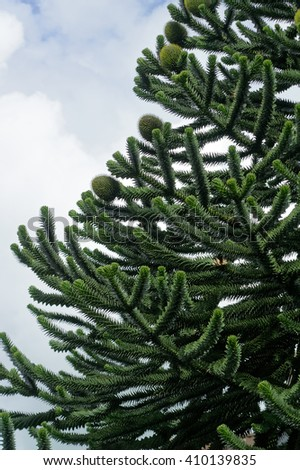 A tall Araucaria tree with evergreen foliage.