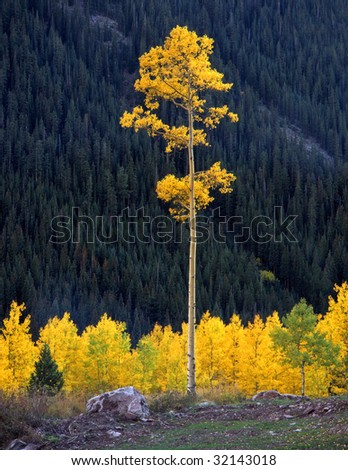 A tall aspen tree in the White River National Forest of Colorado. - stock photo