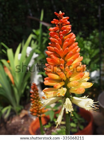 A tall, brilliant colored Torch Lily, also known as Red Hot Poker Plant, stands in the middle of a garden in full bloom in summer.  - stock photo