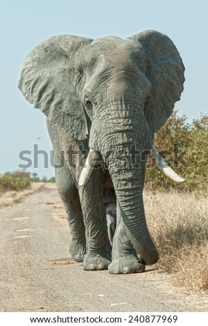 A tall elephant approaches the photographer on a narrow African Bush Road - stock photo