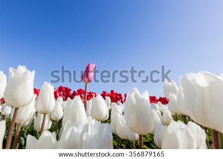 A tall pink tulip standing over white and red tulips at a farm in Oregon with a blue sky background. - stock photo