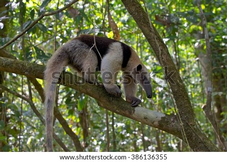 a tamandua (anteater) walking on a tree at corcova national park in costa rica