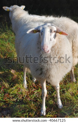 A tame sheep living in dune areas near Haarlem, The Netherlands - stock photo