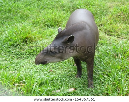 A tapir (Tapirus bairdii) is a large browsing mammal, similar in shape to a pig, with a short, prehensile snout. Amazonas Brazil - stock photo