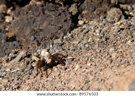 A Tarantula crosses a gravel path at Valley of Fires NRA in New Mexico. - stock photo