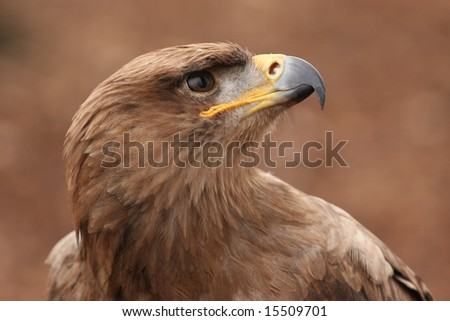 A Tawny Eagle looking up into the sky. - stock photo