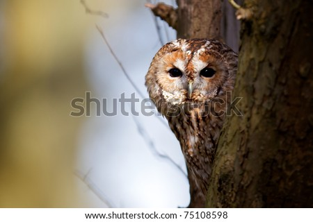 A Tawny Owl in a tree - stock photo