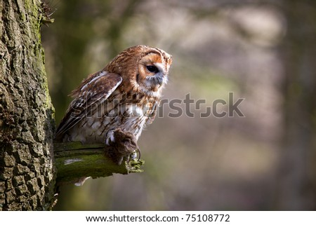 A Tawny Owl in a tree with a vole - stock photo