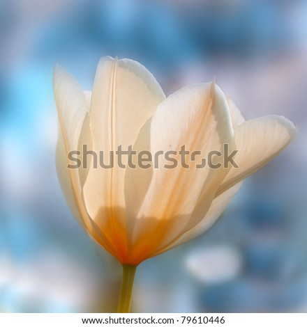 A telephoto of a beautiful tulip in springtime - stock photo