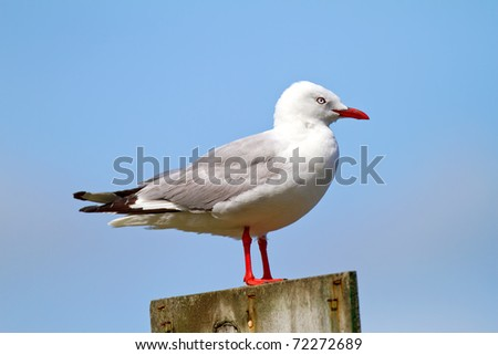 A telephoto of a sea gull, New Zealand - stock photo