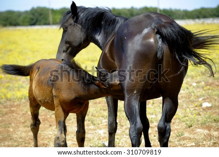 A tender moment of a mother horse with colt - stock photo