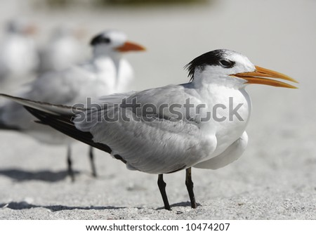 A tern stands facing the wind on a Florida Gulf Coast beach. - stock photo