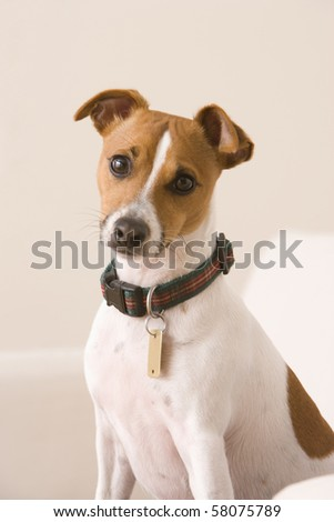 A terrier wearing a collar and a dog tag is sitting on a chair looking at the camera. Vertical shot. - stock photo