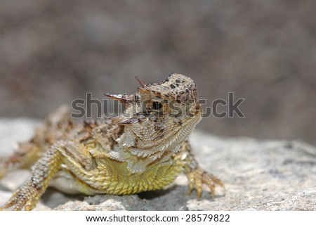 A Texas horned lizard resting on a rock with a blurred stone background. - stock photo