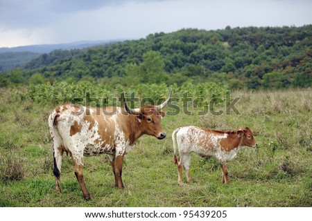 A Texas longhorn cow and her calf with rolling, green hills in the distance. - stock photo