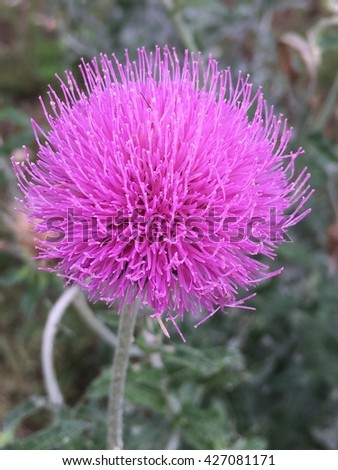 A Texas thistle plant in full bloom with purple ball flowers.