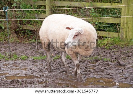 A Texel sheep walking through the mud