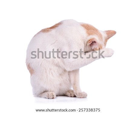 A Thai cat isolated on white background