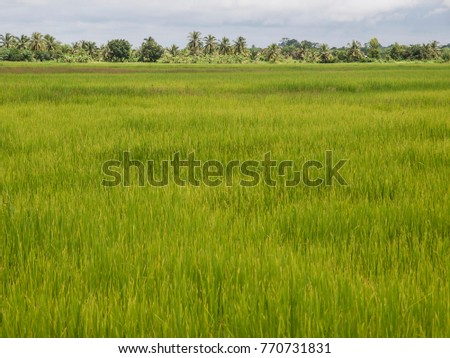 A Thai rice field with large sky for text placement