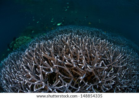 A thicket of blue staghorn coral grows on a shallow reef in the Solomon Islands.  This region is known for its spectacular marine diversity. - stock photo