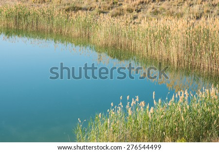 A thicket of reeds growing on the shores of a lake - stock photo