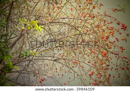 A thin branch bush with red fruit extending out over a tranquil lake - stock photo