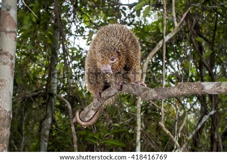 A thin-spined porcupine sits on a branch.  - stock photo