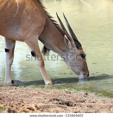 A thirsty eland drinking at a waterhole - stock photo