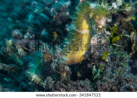 A Thorny seahorse (Hippocampus histrix) clings to the seafloor of Lembeh Strait, Indonesia. This fish relies on camouflage to protect it from potential reef predators. - stock photo