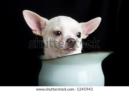 A thoughtful chihuahua.