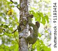 A Three-toed Sloth climbing down the tree in Manuel Antonio national park - stock photo