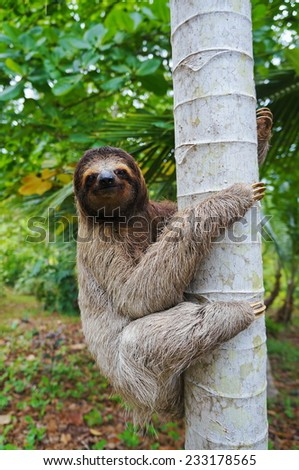 A three-toed sloth climbing on a tree, Panama, Central America - stock photo