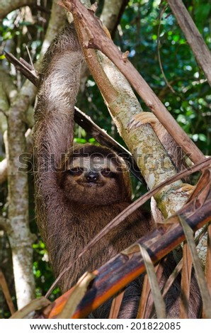 A three-toed sloth hangs in a tree in Cahuita National Park in Costa Rica - stock photo