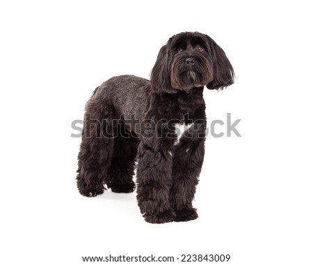 A Tibetan Terrier dog standing and looking up.  Front and side view of dog. - stock photo